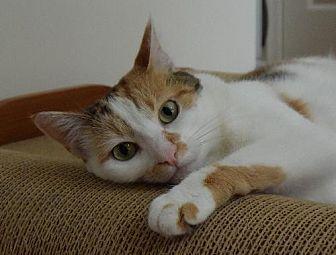 Calico Cat for adoption in Newtown Square, Pennsylvania - Emma