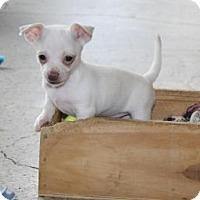 Adopt A Pet :: Napoleon - Puppy - Dallas, TX