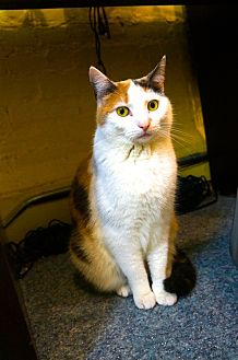 Domestic Shorthair Cat for adoption in New York, New York - Tanya
