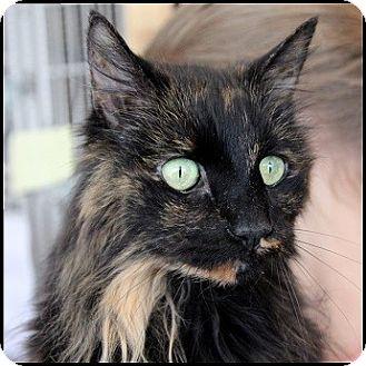 Domestic Longhair Cat for adoption in Colorado Springs, Colorado - Lola