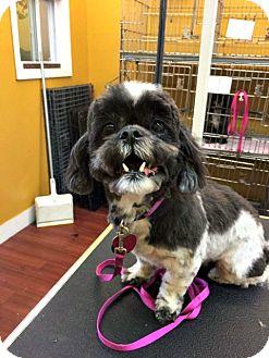 Shih Tzu Mix Dog for adoption in Chesapeake, Virginia - Sugar