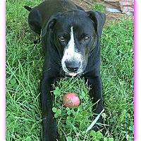 Adopt A Pet :: Bella - Mt. Laurel, NJ