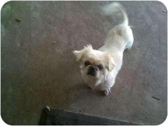 Pekingese Dog for adoption in Orlando, Florida - Lucy Lu
