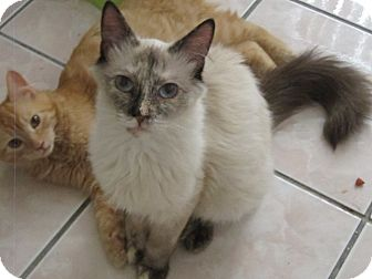 Siamese Cat for adoption in Los Angeles, California - Calisa
