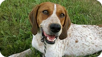 Spaniel (Unknown Type)/Brittany Mix Dog for adoption in Lake Odessa, Michigan - Candi