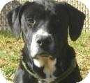 Labrador Retriever/Terrier (Unknown Type, Medium) Mix Dog for adoption in Lincolnton, North Carolina - Hakeem