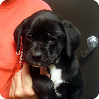Boxer/Labrador Retriever Mix Puppy for adoption in Greencastle, North Carolina - Phillip