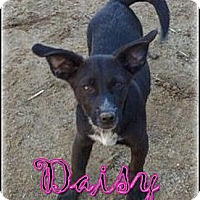 Adopt A Pet :: Daisy - Bakersfield, CA