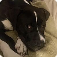 Adopt A Pet :: DAGWOOD - MILWAUKEE, WI