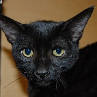 Domestic Shorthair Kitten for adoption in Whittier, California - Sheba