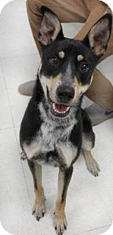 Collie Mix Dog for adoption in Yukon, Oklahoma - Tom
