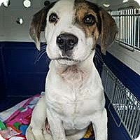 Adopt A Pet :: Roscoe - Chantilly, VA