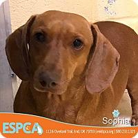 Adopt A Pet :: Sophia - Enid, OK