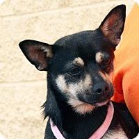 Adopt A Pet :: Nibbs - Palmdale, CA