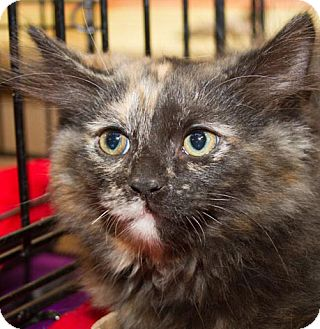 Domestic Longhair Kitten for adoption in Irvine, California - Princess