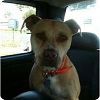 Adopt A Pet :: Miley - Lutz, FL
