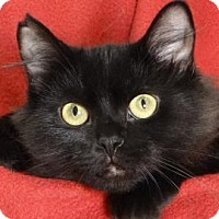 Domestic Mediumhair Cat for adoption in Renfrew, Pennsylvania - Tootsy