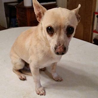 Chihuahua Dog for adoption in TAHOKA, Texas - TAKOTA