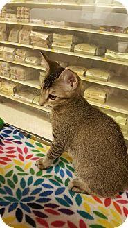 Domestic Shorthair Kitten for adoption in Houston, Texas - Balin