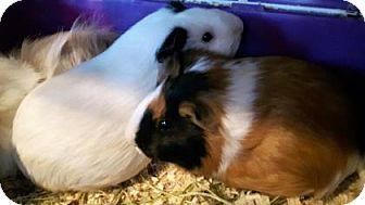 Guinea Pig for adoption in Simcoe, Ontario - Gizietti