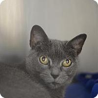 Domestic Shorthair Cat for adoption in Atlanta, Georgia - Zelda 170119