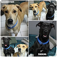 Adopt A Pet :: Hashbrown & Rascal - Forked River, NJ
