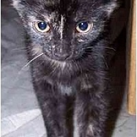 Domestic Shorthair Cat for adoption in Sheboygan, Wisconsin - Ivy
