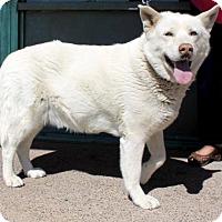 Adopt A Pet :: Shyla - Albuquerque, NM