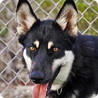 Husky/German Shepherd Dog Mix Dog for adoption in Denver, Colorado - Referral - Misty