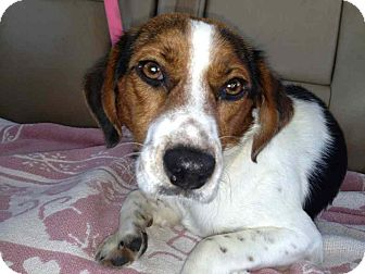 Beagle/Terrier (Unknown Type, Medium) Mix Dog for adoption in Alamosa, Colorado - Woody