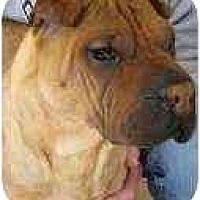 Adopt A Pet :: Babe - Bethesda, MD