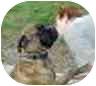 Bullmastiff Dog for adoption in North Port, Florida - Lady Marmelade