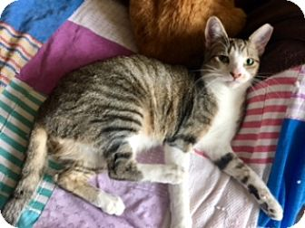 Domestic Shorthair Cat for adoption in Houston, Texas - Crosby