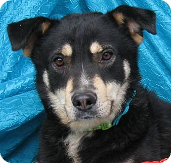 Husky/Shepherd (Unknown Type) Mix Dog for adoption in Cuba, New York - Georgie Webster