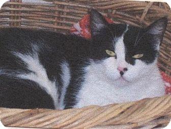 Domestic Shorthair Cat for adoption in El Cajon, California - Midgett
