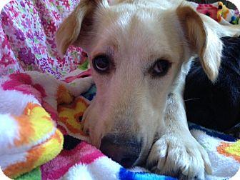 Labrador Retriever Mix Dog for adoption in Los Angeles, California - Marley