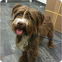 Adopt A Pet :: Brady - Arlington, TX