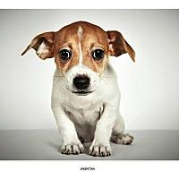 Adopt A Pet :: Valentina - New York, NY