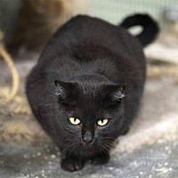 Domestic Shorthair Cat for adoption in Drippings Springs, Texas - Mary