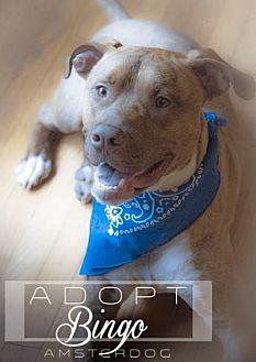 American Pit Bull Terrier Mix Dog for adoption in New York, New York - Bingo