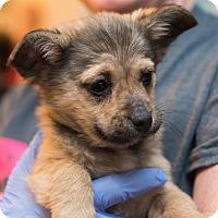 Adopt A Pet :: Rocco - Minneapolis, MN