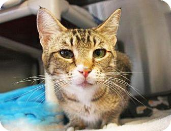 Domestic Shorthair Cat for adoption in Bellevue, Washington - Brisa