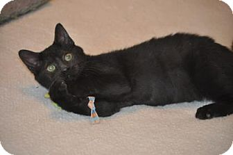 Domestic Mediumhair Kitten for adoption in Santa Fe, Texas - Stormey Night
