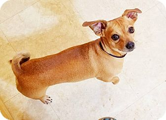 Chihuahua/Dachshund Mix Dog for adoption in Kingston, Tennessee - Chico