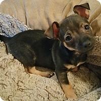 Adopt A Pet :: Killian-Fostered in KC - Bridgeton, MO
