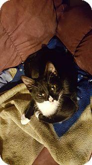 American Shorthair Kitten for adoption in Pensacola, Florida - Veronica