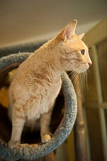 Domestic Shorthair Cat for adoption in Columbia, Maryland - Butterscotch
