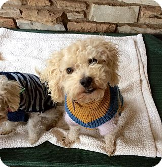 Poodle (Toy or Tea Cup) Mix Dog for adoption in Astoria, New York - Hermie
