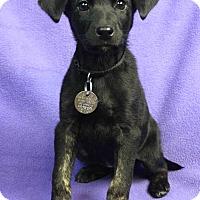 Adopt A Pet :: CELESTE - Westminster, CO