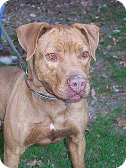 American Staffordshire Terrier Mix Dog for adoption in Middletown, New York - Bruno